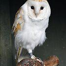 Barn Owl by Dorothy Thomson