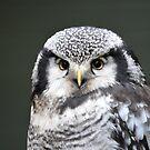 Northern Hawk Owl by Dorothy Thomson