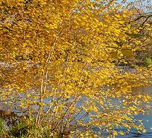 Autumn colours, riverside walk, November 2011 by Hugh McKean