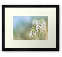 Dreamy Grape Hyacinth.... Framed Print