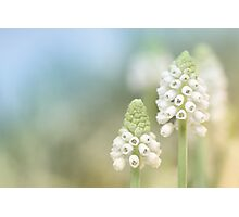 Dreamy Grape Hyacinth.... Photographic Print