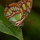 Butterfly No.1 by JMChown