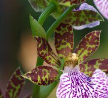 Zygo Orchid Sticker