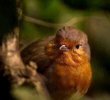 Cheeky Robin by Martyn Franklin
