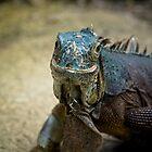 Handsome Iguana by Martyn Franklin