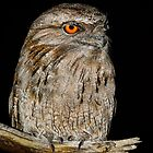 Madame Frogmouth. by James Peake Nature Photography.