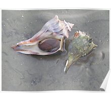 Conch Pair Poster