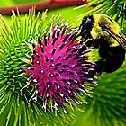 Bumblebee on Thistle by John Butler