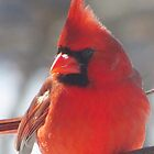 Cardinal Red by lorilee