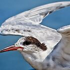 Sandwich Tern by Warren. A. Williams