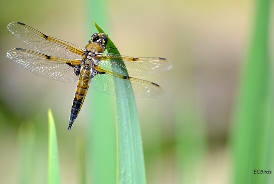 Dragonfly by Emi Brown