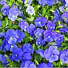 Blue Pansy Garden by donnagrayson