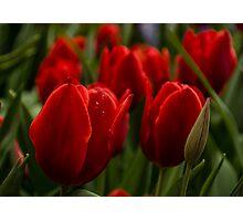 Vivid Red Tulip Garden Photographic Print