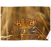 Meadow Argus (Junonia Villida) Butterfly Poster