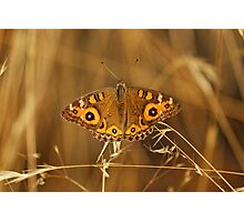 Meadow Argus (Junonia Villida) Butterfly Photographic Print