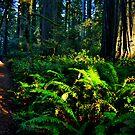 Jedediah Redwood Sun Splash by Bob Moore