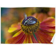 Hoverfly on red and yellow flower Poster