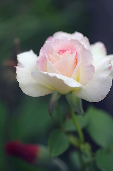 A rose in my garden by Clare Colins