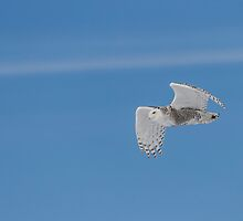 Snowy Owl In Flight 1 by Thomas Young
