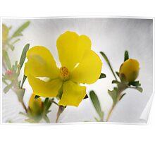 Guinea Flower Sunburst Poster