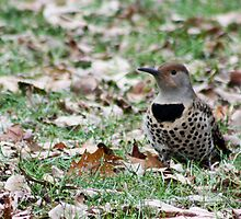 Northern Flicker hunts for dinner by Rod Raglin