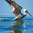 Brown Pelican Take Off by imagetj