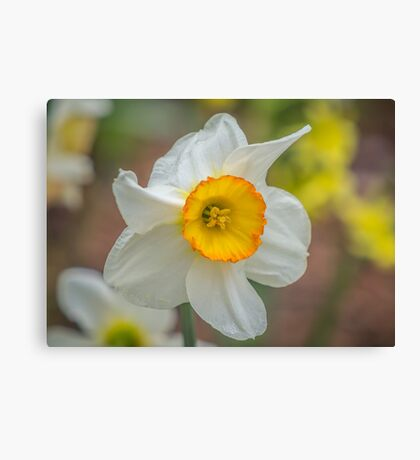 My Daffodil Canvas Print