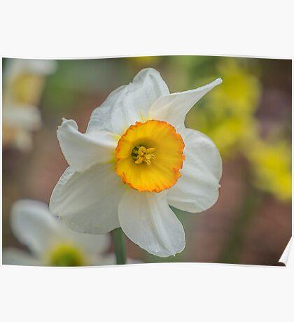 My Daffodil Poster