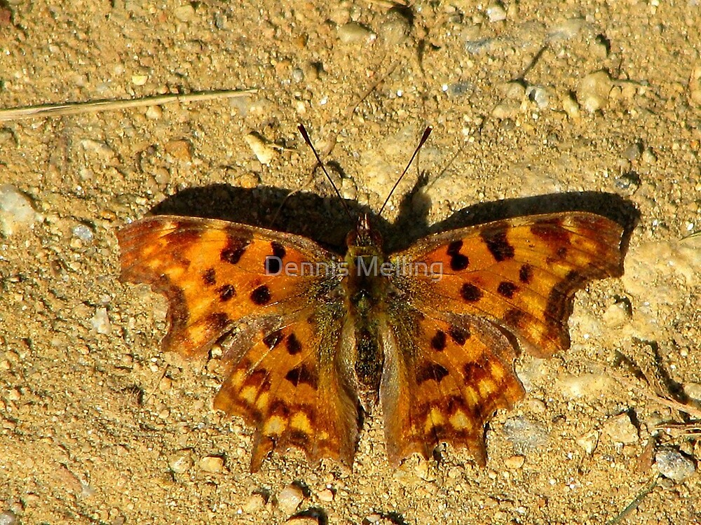 Comma Butterfly (Polygonia c-album)  by Dennis Melling