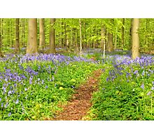 Flower carpet of wild hyacinths in the forest Photographic Print