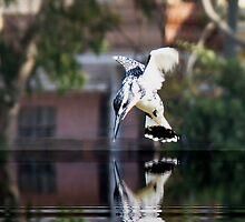 Pied Kingfisher by Irfan Gillani
