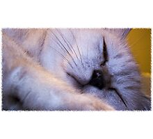 The Burmilla Cat Photographic Print