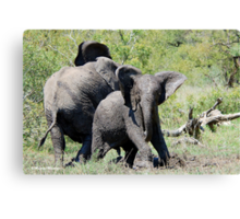 O NO, THIS IS MY SPACE! THE AFRICAN ELEPHANT – Loxodonta Africana - AFRIKA OLIFANT Canvas Print