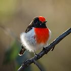 Red Cap. by James Peake Nature Photography.