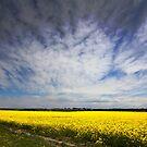 Canola in Spring by Arfan Habib