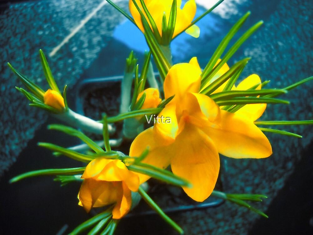 Yellow Krocus by Vitta