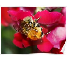 Bumble Bee on Antirrhinum Poster