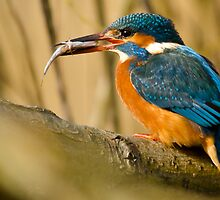 kingfisher by Steve Shand