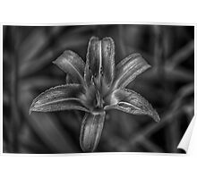 B&W Lily 3 of 4 Poster