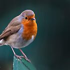 Robin 'Tweety' by John44