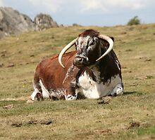 english longhorn by markspics
