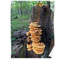 Yellow Shelf Mushrooms Poster