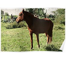 Dark Brown Horse in a Pasture Poster