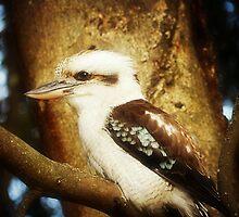 Kookaburra-Kingfisher - Halls'Gap in The Grampians National Park Vic.* by EdsMum
