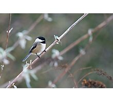 Black-capped Chickadee (Poecile atricapillus) rests on a branch Photographic Print