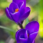 Crocus vernus Flower by Michael Russell