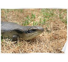 Blue-tongued Lizard Poster