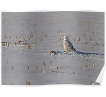 Snowy Owl On The Snow Poster
