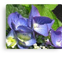 Blue Lacecap Hydrangea Macro Canvas Print