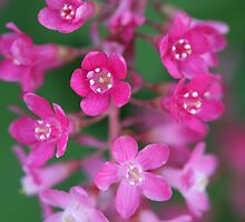 flowering currant by markspics